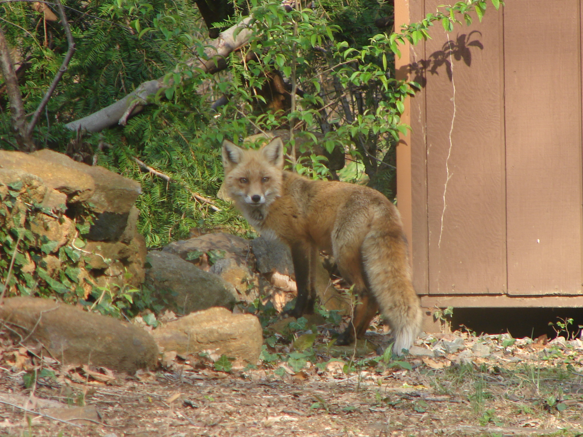 Foxes in our Back Yard
