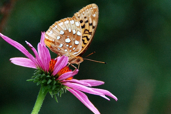 Great Spangled Fritillary Butterfly, copyright Margaret Walker