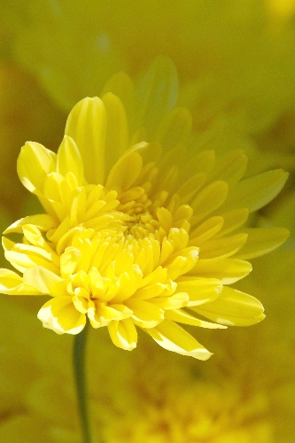 Yellow Chrysanthemums Flowers, copyright Margaret Walker