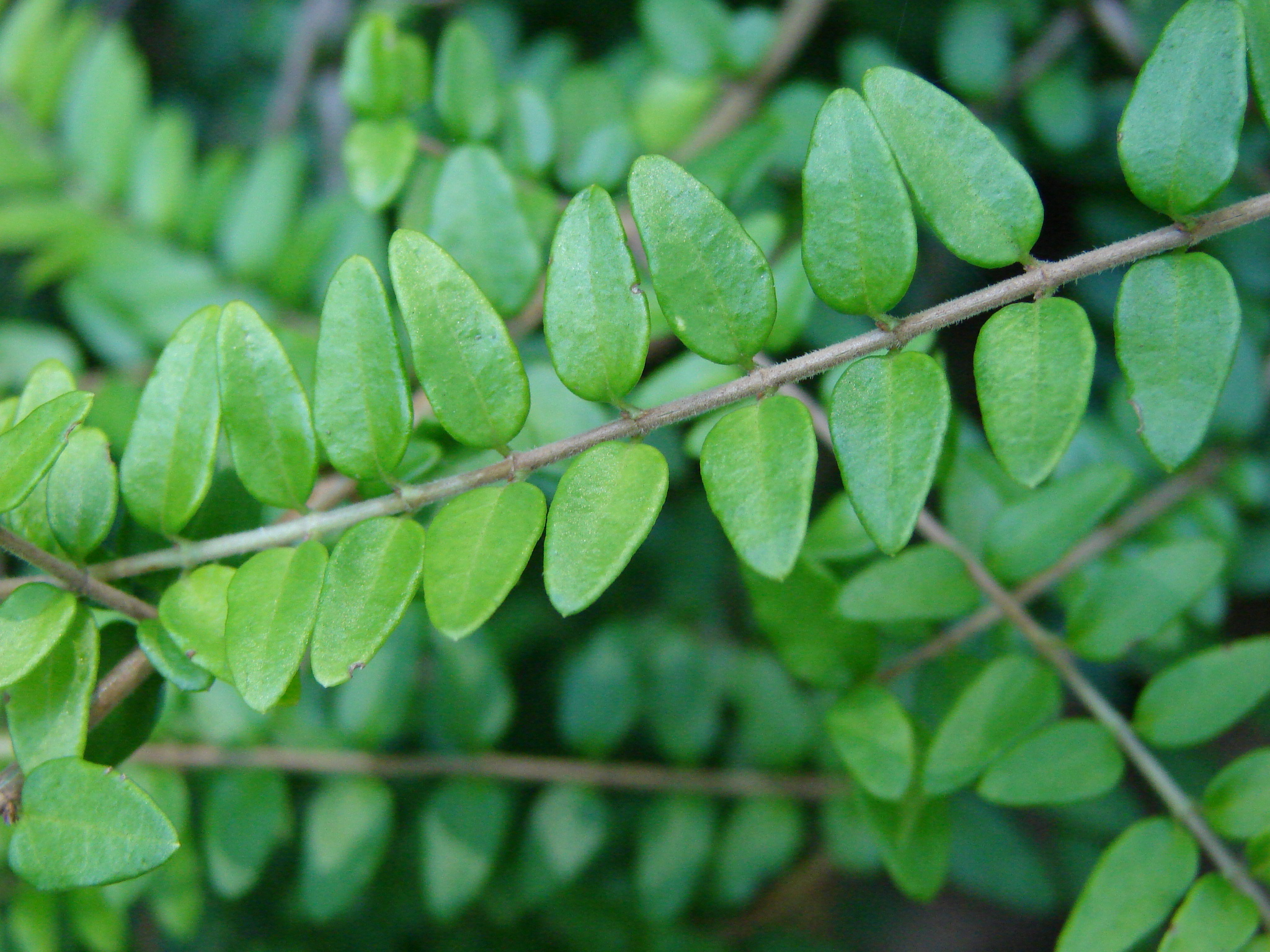 Lonicera nitida 'Twiggy', leaves