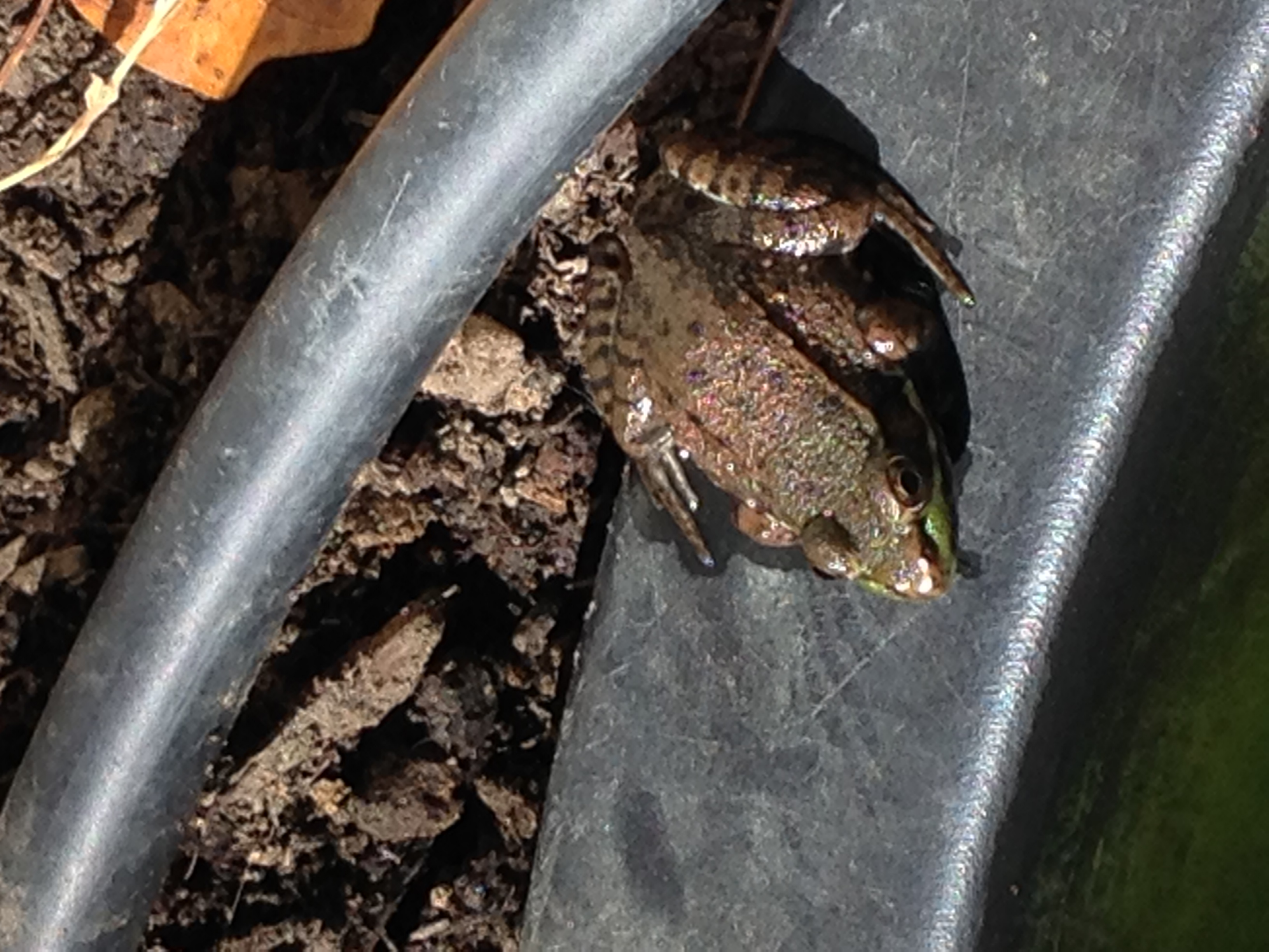 Northern Green Frog (Rana clamitans melatona)