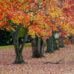 Fall Trees in Red and Yellow, copyright Margaret Walker