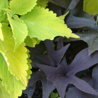 Sweet Potato Vine with Coleus